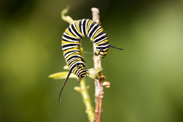 Caterpillars are the larval form of members of the order Lepidop