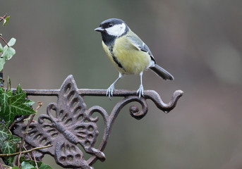 Fotoväggar - Great tit, Parus major