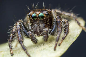 Close up of a jumping spider.