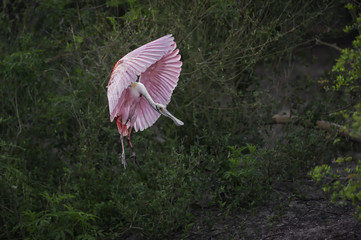 A pink bird in flight.