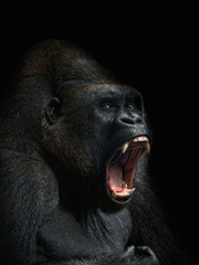 A gorilla with its mouth open.