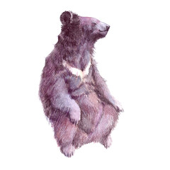 Watercolor realistic Grizzly  bear forest animal isolated on a white background illustration.