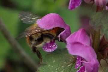 A honeybee pollinating a flower.