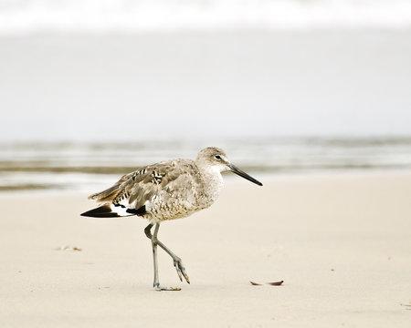 Willet (Catoptrophorus semipalmatus) walks on the beach, Playa del Rey, CA, USA.