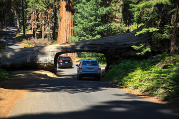Tunnel excavated in a giant redwood fallen over the road