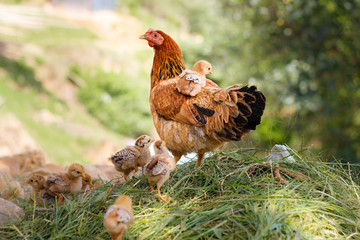 A hen with its chicks.