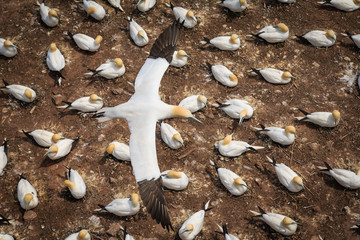 A gannet flying over its colony.