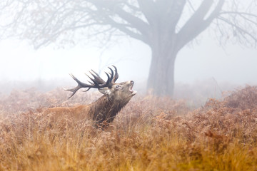 A moose calling in a misty field.