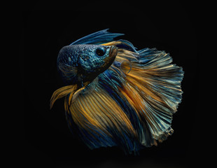 A betta fish underwater.
