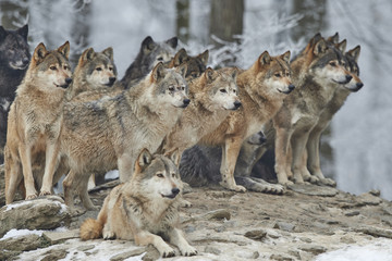 A pack of wolves on a rock.