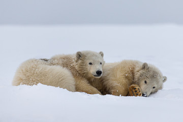 Two polar bear cubs in the snow