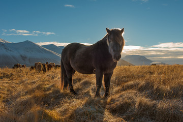 An Icelandic horse in a field.