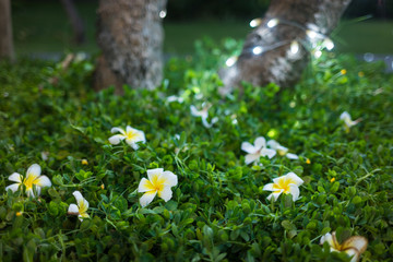 White plumeria fallen on green grass against foot of the tree with lighten LED at night