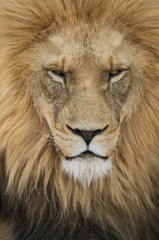 Close-up portrait of majestic lion