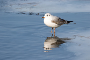 Common gull (Larus canus) on frozen lake