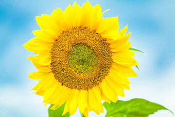 view of a yellow sunflower