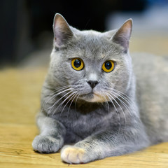 Yellow eyes of the British cat. Furry gentle creature kitten of a tortoise color. Portrait home pet cats.