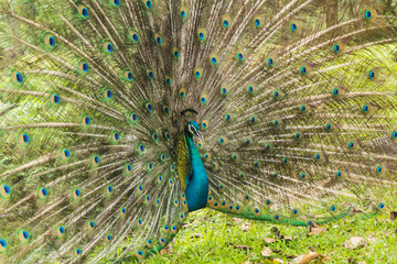 Wild peacocks, Ratchaburi, Thailand