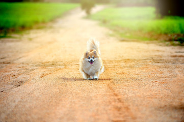 Running pomeranian dog on the road. young, healthy, happy, cheer