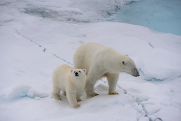 Polar bear (Ursus maritimus) mother and cub on the pack ice