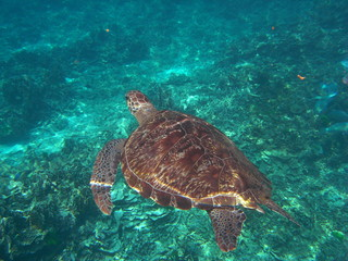 Green Turtle (Chelonia mydas) at Similan island, Thailand