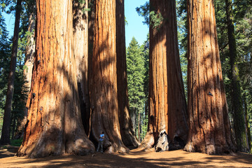 Redwoods of Giant Redwoods National Park California.