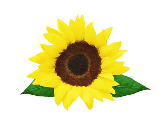 beautiful bright sunflower isolated on white