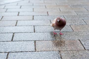 Taube im Regen