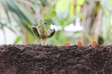 Seedlings of peanut on soil in the Vegetable garden.