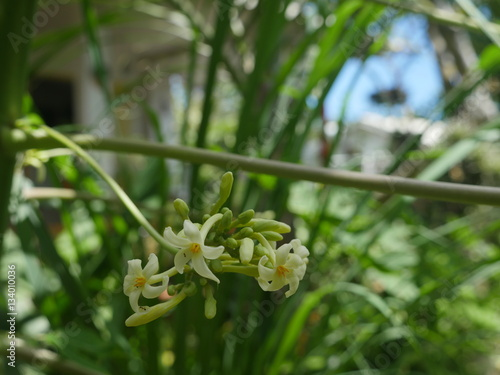 Fleur De Papayer Male Jardin Creole Reunion Stock Photo And