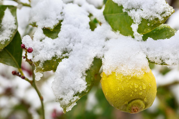 Lemon fruit in the tree covered by snow