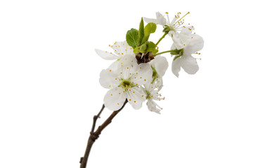 cherry blossom flowers isolated