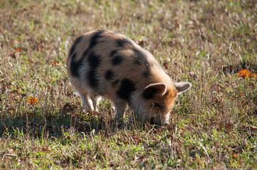 Kune Kune Schwein auf Wiese