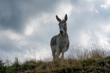 Esel schaut von Hügel herunter