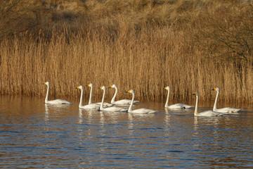 Whooper swan in wintertime