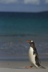Gentoo Penguin (Pygoscelis papua) on a sandy beach on Bleaker Island in the Falkland Islands.