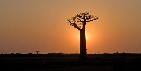 Baobab, Adansonia grandidieri, allée des baobabs,zone protégée, Morondava, Madagascar