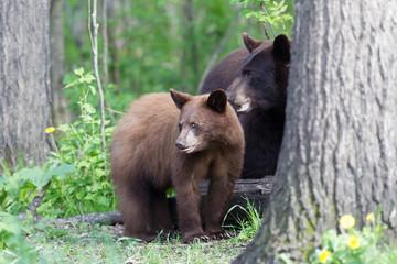 Juvenile Black bear in Orr Minnesota