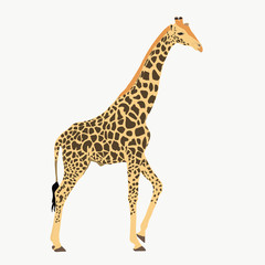Giraffe standing, lifting one leg - illustration - isolated on white background