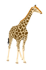 Giraffe, standing - illustration - isolated on white background