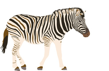 Zebra - illustration - isolated on white background