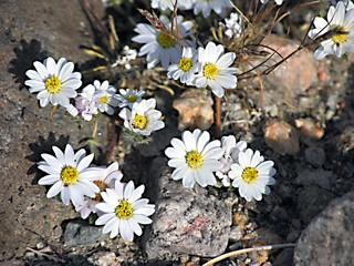 Desert Star Wildflowers