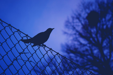 Blackbird in silhouette pearched on a fence during evening hours