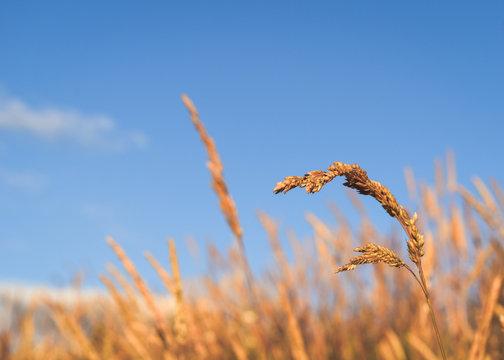 Yellow Grass on a Blue Summer Day