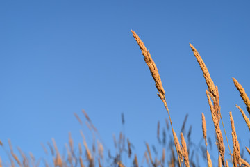 Wheat Grass on a Blue Day