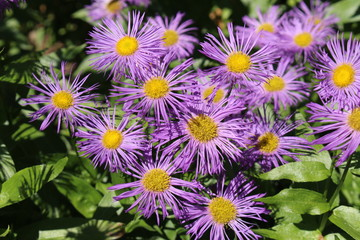 """Aspen Fleabane"" flowers (or Showy Fleabane, Daisy Fleabane) in St. Gallen, Switzerland. Its Latin name is Erigeron Speciosus, native to western North America."