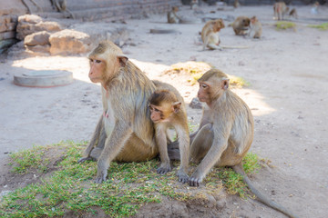 Monkey family sitting in Phra Prang Sam Yot temple, ancient architecture in Lopburi, Thailand. Select focus