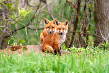 Amazingly beautiful red fox kits