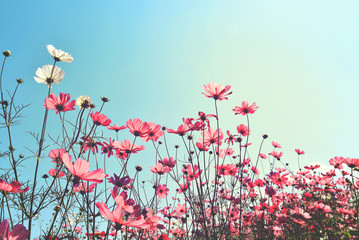 Wall Mural - Landscape vintage nature background of cosmos flower field with sunlight blue sky. vintage color tone