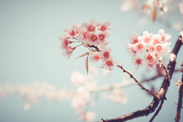 Wall Mural - Close-up of beautiful vintage sakura tree flower (cherry blossom) in spring. vintage color tone style.